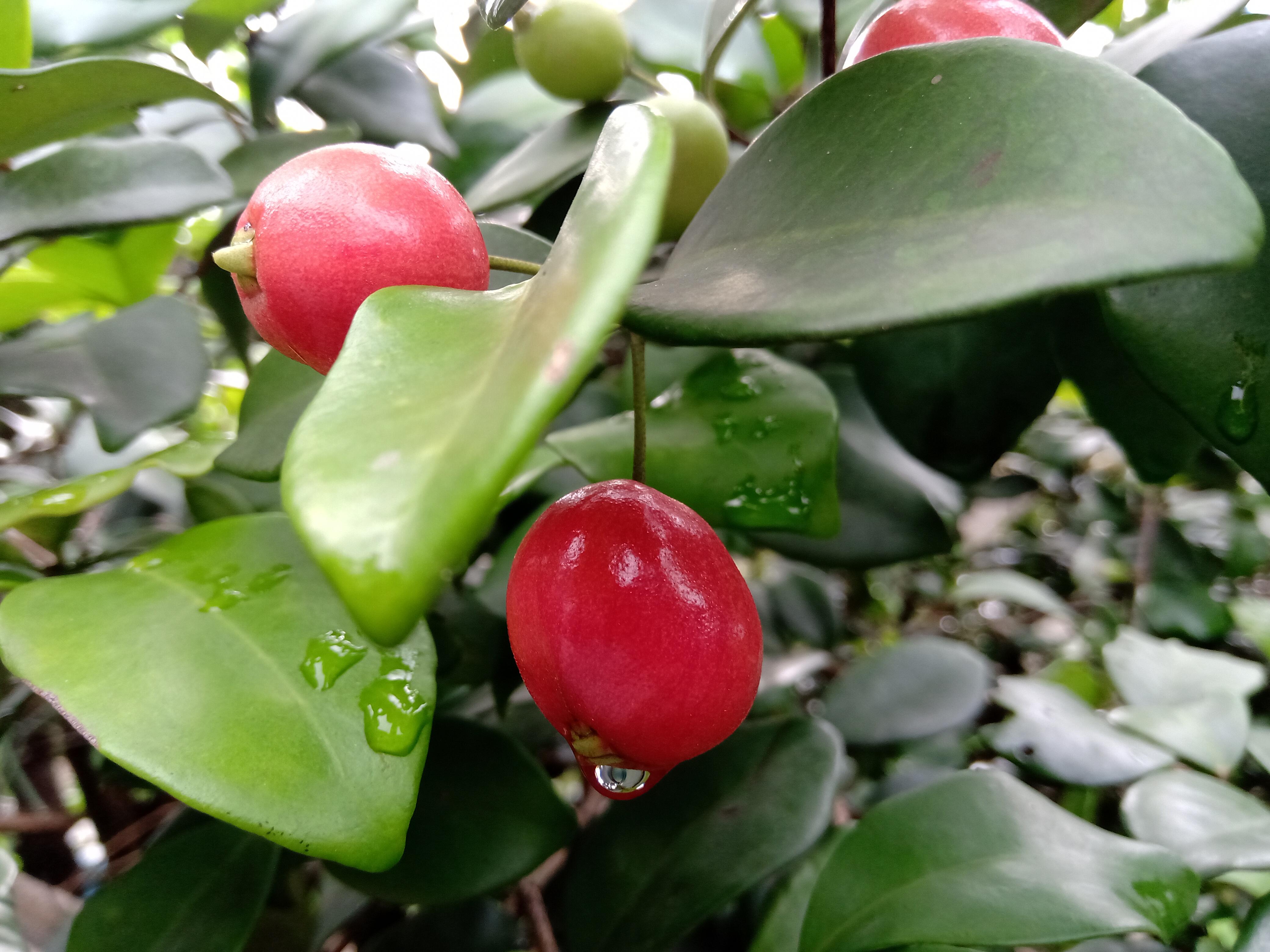 Cara Mudah Bertanam Buah Cherry Australia